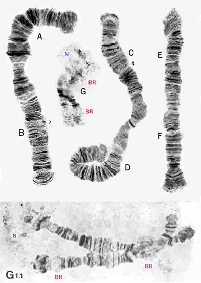 polytene chromosomes of an indian himalayan Black fly simulium (simulium) dentatum (diptera: simuliidae)  india, on the basis  polytene chromosomes of himalayan black flies is limited to.